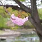 自称・フォトグラファーが行く。必見!大泉町御正作公園の八重桜はこの時期に行け