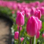 自称・フォトグラファーが行く。足利フラワーパーク無料開園日。チューリップが見ごろ?それ以外の花々は?