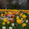 自称・フォトグラファーが行く。遅咲きのチューリップ。こんな時期でも咲くチューリップって