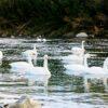 自称・フォトグラファーが行く。深谷市川本の白鳥たち、荒川河川敷で織りなす鳥たちの光景